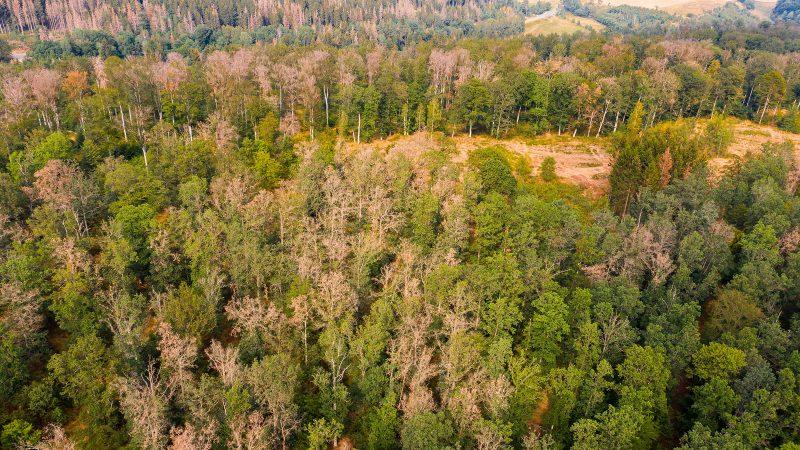 So könnte es bald auch im Sinziger Stadtwald aussehen: sterbender Laubwald im Harz, nachdem man dort mittels Einschlag aufgelichtet hatte. Foto: Adobe Stock/dk-fotowelt