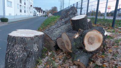 Gefällte Bäume in der Geschwister-Scholl-Straße in Remagen